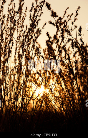 Indian grasses in the countryside at sunset. Andhra Pradesh, India. Silhouette - Stock Photo