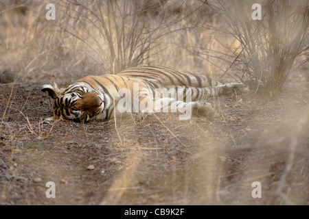 A Bengal Tiger lying inside the dry camouflage in the wild forest of Ranthambhore, India. ( Panthera Tigris ) - Stock Photo