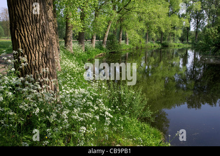 Cow parsley (Anthriscus sylvestris) wildflowers along pond, Belgium - Stock Photo