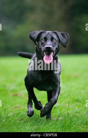 Black Labrador (Canis lupus familiaris) dog running and playing in garden in the rain - Stock Photo