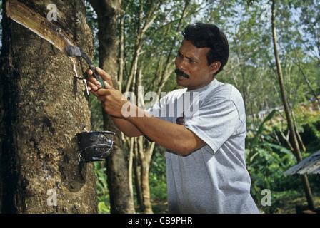 Native farmer extracting latex from Para (rubber) tree. - Stock Photo
