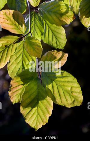 European beech (Fagus sylvatica) leaves in autumn, Belgium - Stock Photo