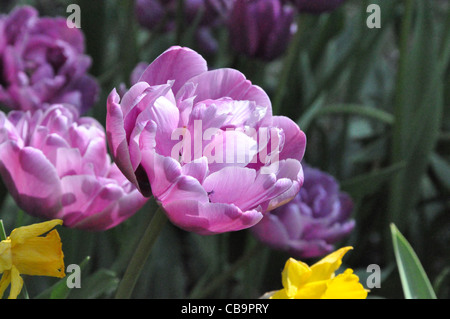 Tulpen im Frühling - Stock Photo