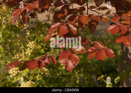 Copper Beech (Fagus sylvatica 'Purpurea'.) Recently emerged leaves in spring. Norfolk. Much used ornamental variety. - Stock Photo