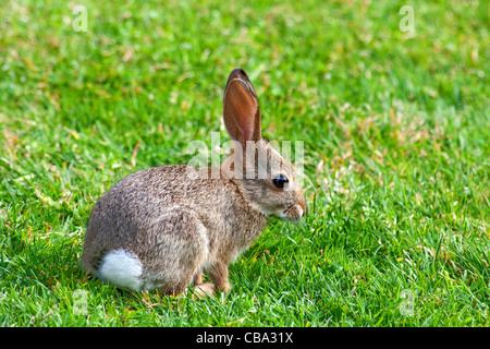 Wild baby bunny in San Diego, California - Stock Photo