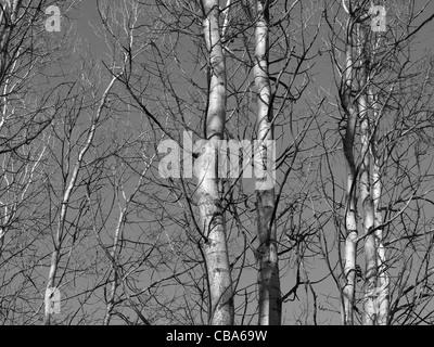 poplar trees in autumn / Pappeln im Herbst - Stock Photo