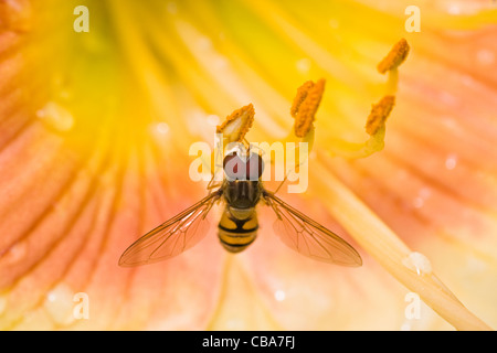 Hoverfly on yellow daylily flowers in close view after rainfall - Stock Photo