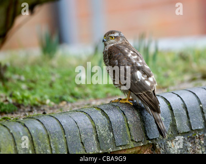 Juvenile Sparrowhawk Accipiter nisus perched on garden wall - Stock Photo