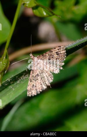 Twenty-plume / Many-plumed moth (Alucita hexadactyla : Alucitidae), UK. - Stock Photo