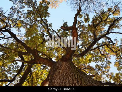 Old oak tree from below. - Stock Photo