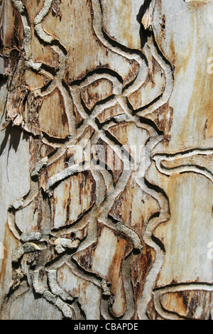 tracks from wood borers on dead aspen tree trunk - Stock Photo