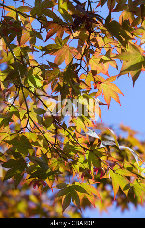 Japanese Maple, Acer palmatum in Autumn - Stock Photo