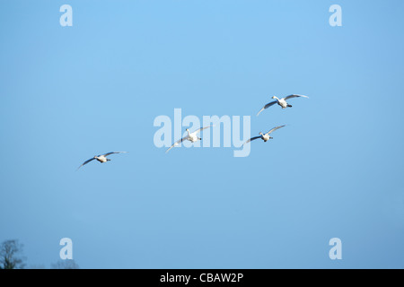 Bewick's Swans (Cygnus columbianus bewickii). Attracted by discarded tops of harvested sugar beet, about to land. - Stock Photo