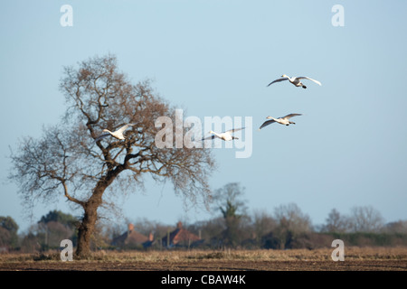 Bewick's Swans (Cygnus columbianus bewickii). Attracted by discarded tops of recently harvested sugar beet. - Stock Photo