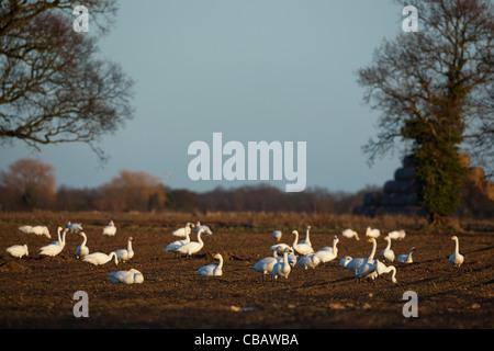 Bewick's Swans (Cygnus columbianus bewickii). On recently harvested sugar beet field. Ludham, Norfolk. - Stock Photo