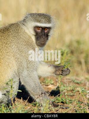 Vervet Monkey (Chlorocebus pygerythrus) - Stock Photo
