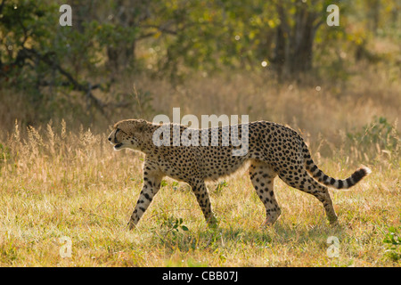 A big male Cheetah (Acinonyx jubatus) - Stock Photo