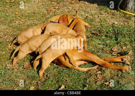 Stock photo of hungarian vizsla pups feeding of their mother - Stock Photo