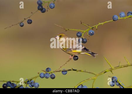 A single Greenfinch Carduelis chloris on blackthorn berries - Stock Photo