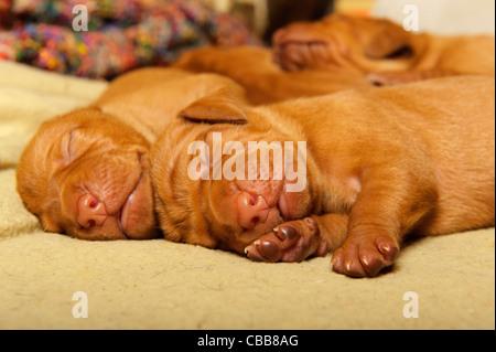 Stock photo of Hungarian Vizsla puppies - Stock Photo