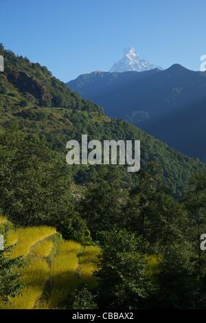 Trek from Ghandruk to Nayapul, trail and rice fields, Machhapuchhare, Fish Tail, Annapurna Sanctuary Region, Nepal, - Stock Photo