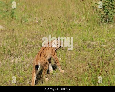 Eurasian lynx, NP national park Bavarian Forest, Germany / Eurasischer Luchs im NP Nationalpark Bayerischer Wald, - Stock Photo