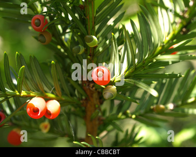 Taxus / Eibe - Stock Photo