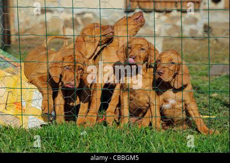 Stock photo of Hungarian Vizsla pups in a fenced run. - Stock Photo