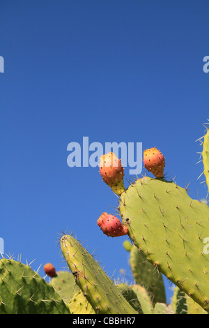 Israel, Lower Galilee, Prickly Pear on Mount Precipice - Stock Photo