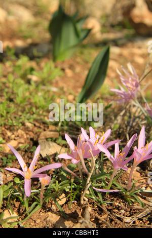 Israel, Lower Galilee, Colchicum flowers on Mount Precipice - Stock Photo