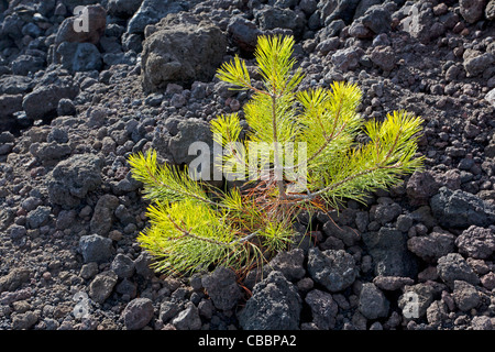 Young tree in stream of lava - Stock Photo