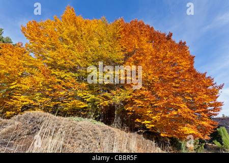 Beech with autumn colours (Fagus sylvatica) - Stock Photo