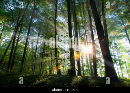 Sunbeams shining through forest - Stock Photo