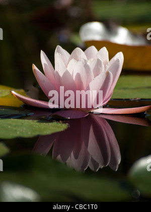 Water lily blossoming in the pond. Roberta's Hardy Pink Water Lily. With sizeable, star-shaped, semi-double flowers, - Stock Photo