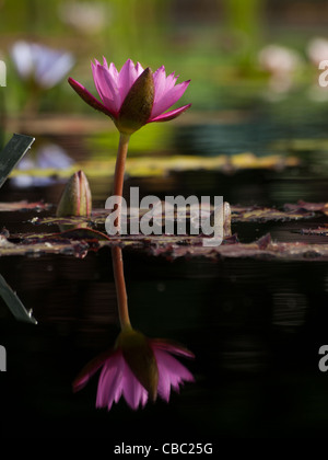 Nymphaea 'Hot Pink' water lily. Nymphaea 'Hot Pink' took Second Best Tropical waterlily in 2009. This exciting new - Stock Photo