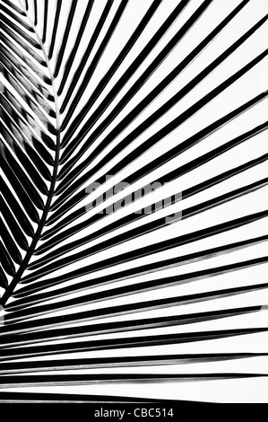 Coconut palm tree leaf pattern. India. Black and White - Stock Photo