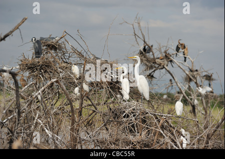 Western Great egret - Common egret - Great white egret (Ardea alba - Egretta alba) nesting colony Lake Baringo - Stock Photo