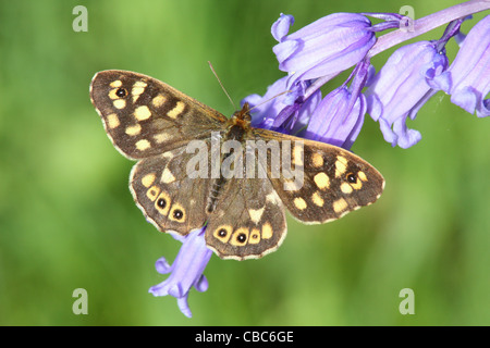 Speckled Wood Butterfly, Pararge aegeria, feeding on a bluebell,Hyacinthoides non-scripta - Stock Photo