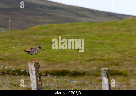 Common Redshank (Tringa totanus) standing on a fence post. - Stock Photo
