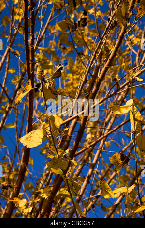 yellow leafs in Rome in autumn on a tree - Stock Photo