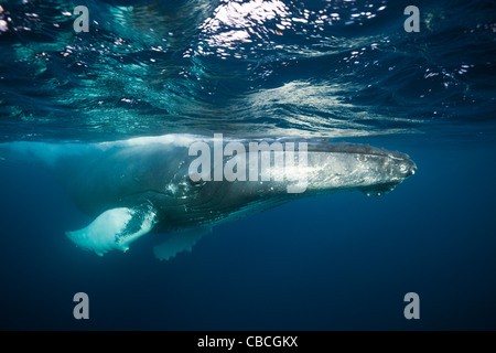 Humpback Whale, Megaptera novaeangliae, Caribbean Sea, Dominica - Stock Photo