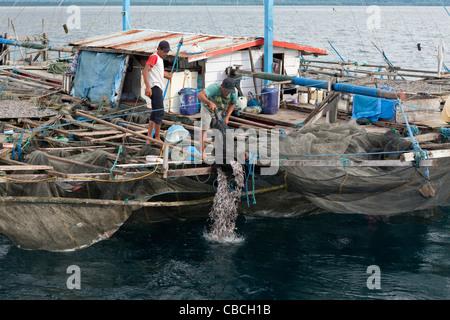 Fishermen feeding Whale Sharks from Fishing Platform called Bagan, Cenderawasih Bay, West Papua, Indonesia - Stock Photo