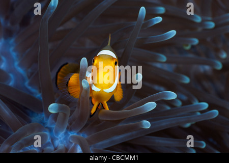 Clown Anemonefish in bleached Sea Anemone, Amphiprion ocellaris, Heteractis magnifica, West Papua, Indonesia - Stock Photo