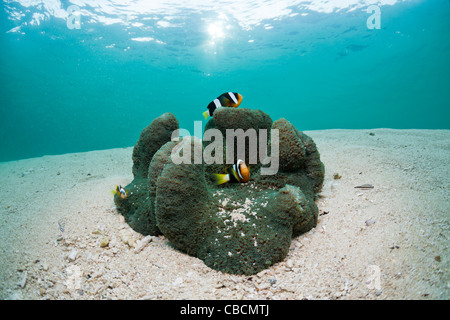 Clarks Anemonefish in Lagoon, Amphiprion clarkii, Cenderawasih Bay, West Papua, Indonesia - Stock Photo