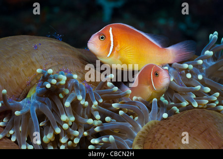 Pink Anemonefish Sea Anemone Amphiprion perideraion, Heteractis magnifica, West Papua, Indonesia symbiosis clownfish - Stock Photo