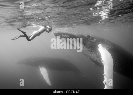 Humpback Whale and Photographer, Megaptera novaeangliae, Silver Bank, Atlantic Ocean, Dominican Republic - Stock Photo