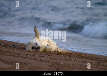 A young Grey Seal pup, Halichoerus grypus plays on the edge of the surf - Stock Photo