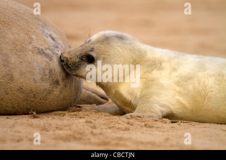 A Grey Seal pup, Halichoerus grypus suckles from its Mum on a Norfolk beach - Stock Photo