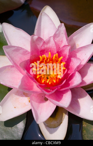 Detailed view of a large pink water lily blossoming in a pond - Stock Photo