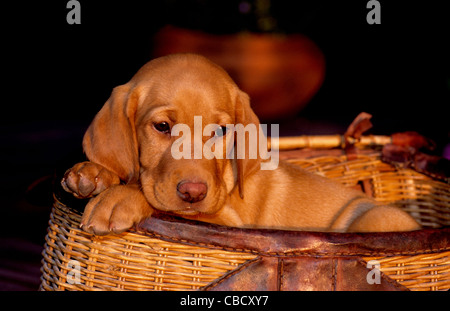yellow Labrador retriever puppy - Stock Photo